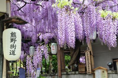 藤、咲き誇る、熊野街道の藤の画像