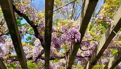 藤、咲き誇る、大阪城の藤の画像