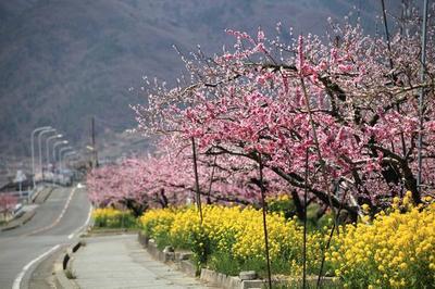 桃と菜の花の画像