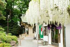 カウントダウン、うっとり、藤、見頃、白旗神社の画像