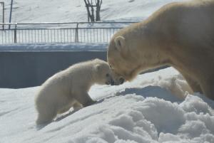 札幌観光におすすめな円山動物園のホッキョクグマの画像