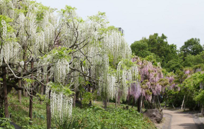 カウントダウン、うっとり、藤、見頃、横須賀しょうぶ園の画像