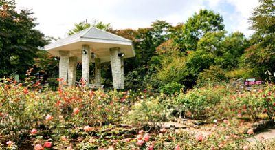 バラ、名所、祭り、イベント、見頃、強羅公園の画像
