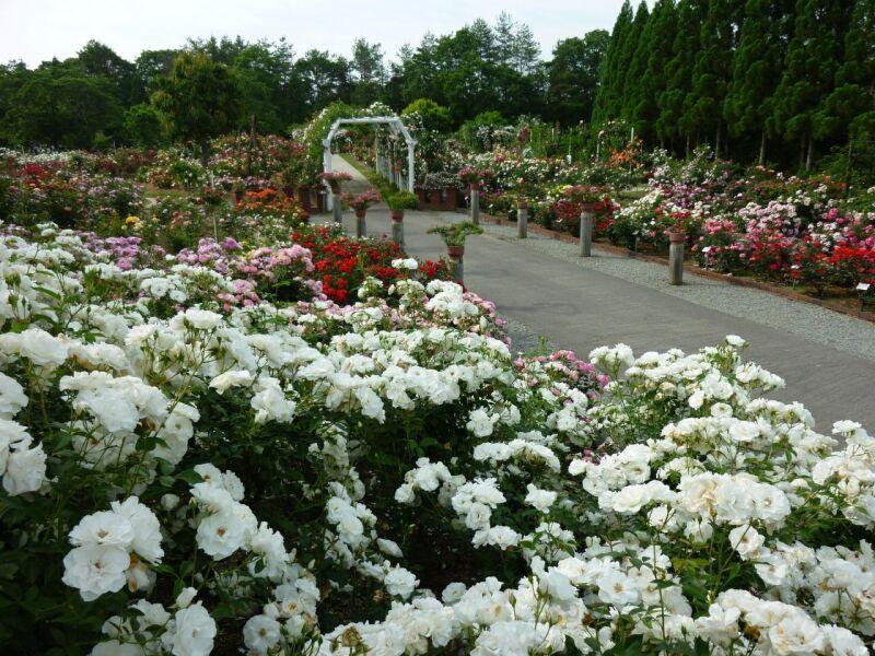 バラ公園広島安芸高田市の画像
