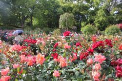 福岡市植物園のバラの画像