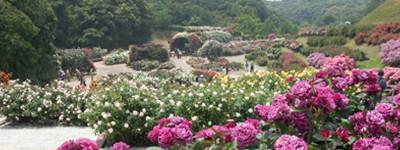 福岡市グリーンパークのバラの画像
