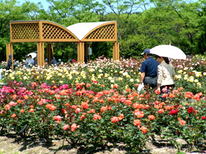 海の中道海浜公園のバラの画像