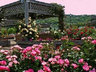 水俣エコパークのバラの画像