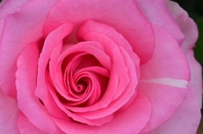 バラ、名所、祭り、イベント、見頃、ピンクのバラの画像