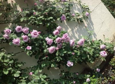 バラ、名所、祭り、イベント、見頃、紫のバラの画像