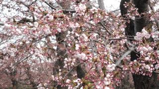 【キター!】4月27日開花宣言!