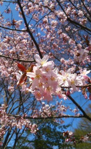 【桜満開?!】有珠善光寺に行ってきました♪