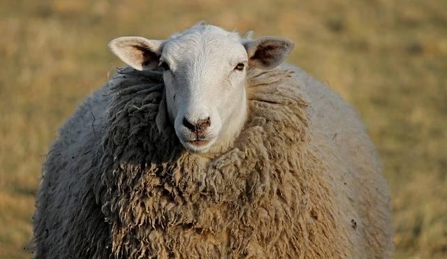 Sheep Livestock Head Winter · Free photo on Pixabay (57667)