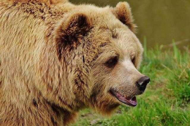 Bear Wildpark Poing Brown - Free photo on Pixabay (81119)