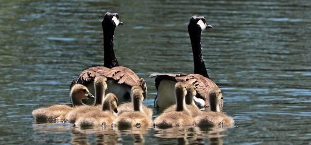 Geese Goose Family - Free photo on Pixabay (81134)