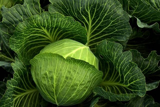 Cabbage Cultivation Vegetables - Free photo on Pixabay (134580)
