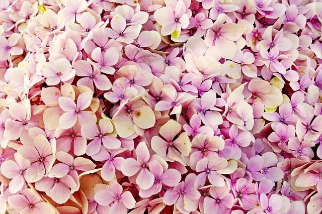 Hydrangea Flower Nature - Free photo on Pixabay (167199)
