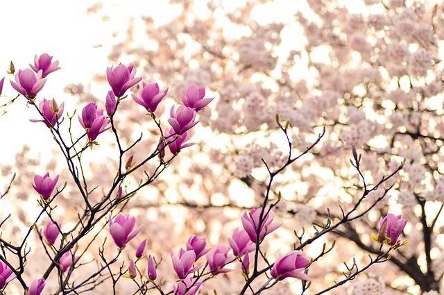 Magnolia Branches Blossom - Free photo on Pixabay (167210)