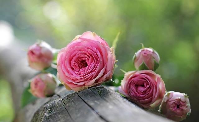 Rose Bush Röschen Pink - Free photo on Pixabay (176431)