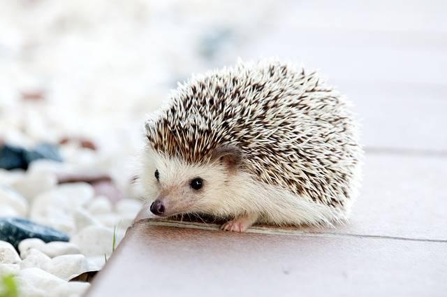 Hedgehog Animal Baby - Free photo on Pixabay (188602)