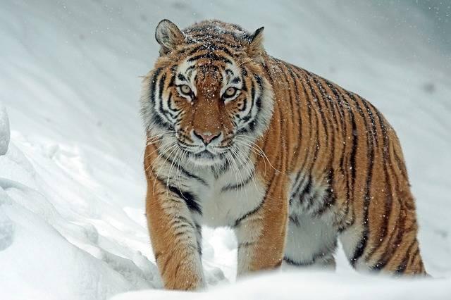 Amurtiger Tiger Big Cat - Free photo on Pixabay (208200)