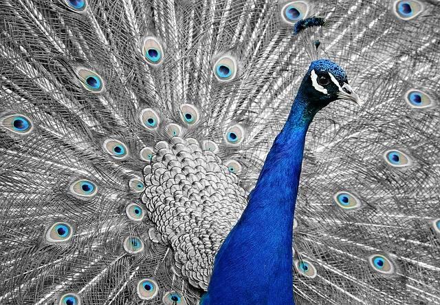 Peacock Animal Bird - Free photo on Pixabay (208417)