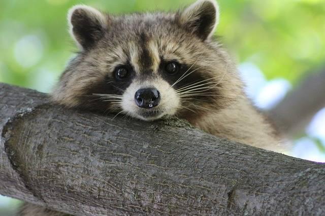Raccoon Cute Animal - Free photo on Pixabay (216248)