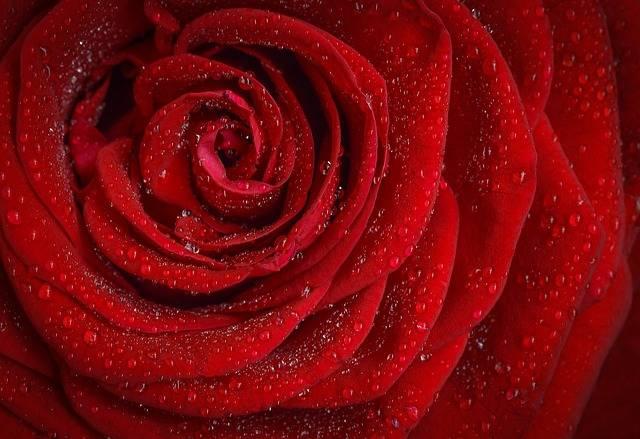 Rose Red Flower - Free photo on Pixabay (217522)