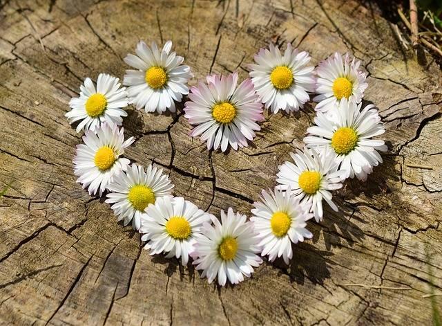 Daisy Heart Flowers Flower - Free photo on Pixabay (256773)