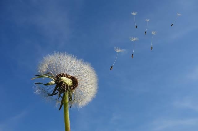 Dandelion Sky Flower - Free photo on Pixabay (256776)
