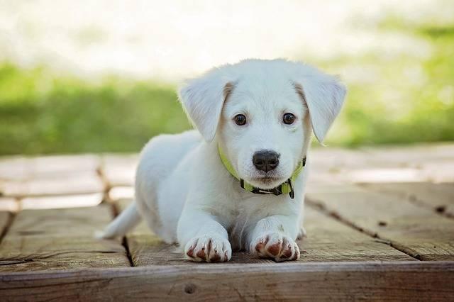 Puppy Dog Pet - Free photo on Pixabay (270313)