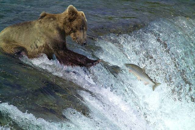 Kodiak Brown Bear Fishing Water - Free photo on Pixabay (283946)