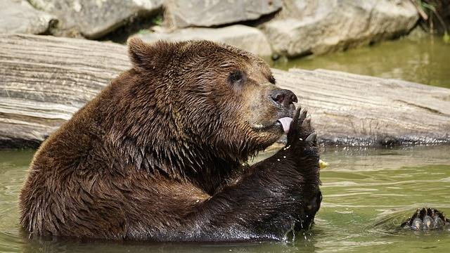Bear Brown Animals - Free photo on Pixabay (283948)