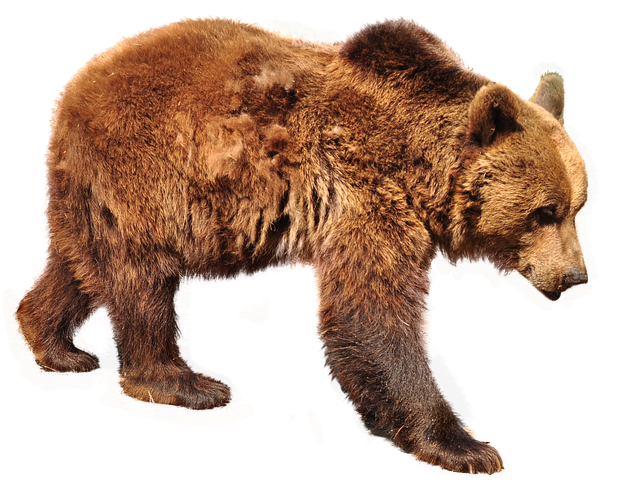 Bear Brown Isolated - Free photo on Pixabay (283954)
