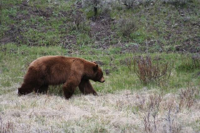 Bear Brown Mammal - Free photo on Pixabay (283962)