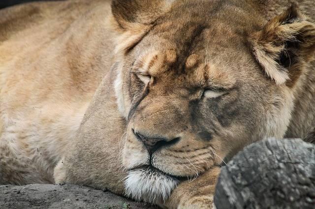 Lion Female Portrait - Free photo on Pixabay (286427)
