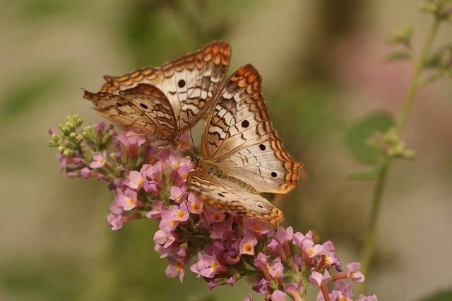 Butterfly Macro Insects - Free photo on Pixabay (301762)