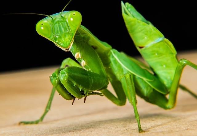 Praying Mantis Fishing Locust - Free photo on Pixabay (304765)