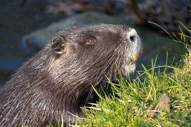 Nutria Water Rat Coypu Beaver - Free photo on Pixabay (307914)