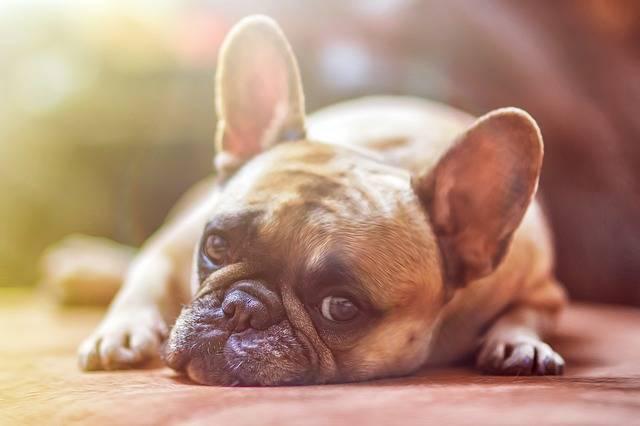 Dog Bulldog Pet - Free photo on Pixabay (322653)