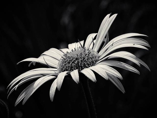 Beauty Yellow Flower Black And - Free photo on Pixabay (323431)