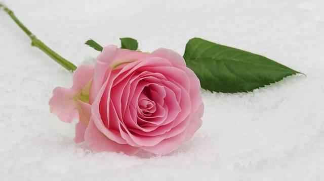 Rose Winter Blossom - Free photo on Pixabay (348470)