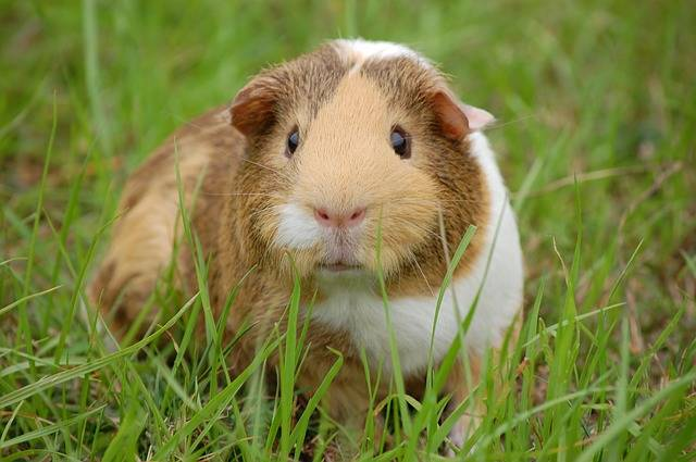 Guinea Pig Cavy Pet - Free photo on Pixabay (358155)