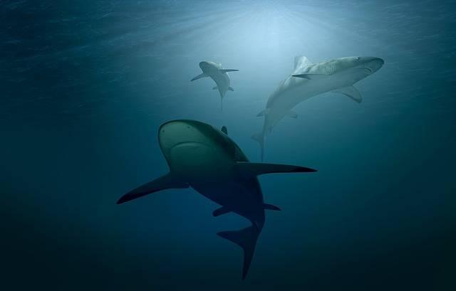 Hai Sharks Sea - Free photo on Pixabay (360880)