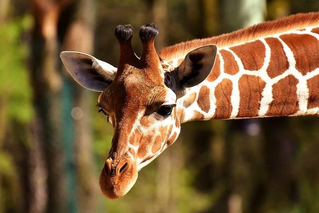 Giraffe Wild Animal Stains Long - Free photo on Pixabay (365873)