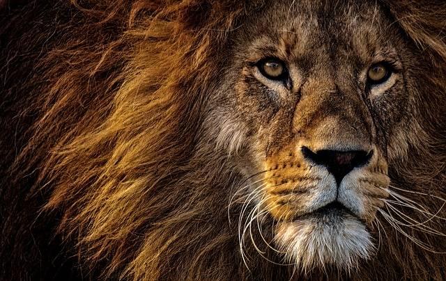 Lion Predator Dangerous - Free photo on Pixabay (368894)
