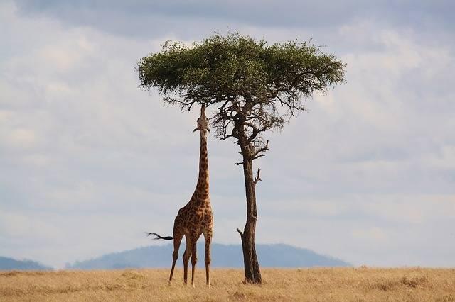 Giraffe Kenya Africa - Free photo on Pixabay (373355)