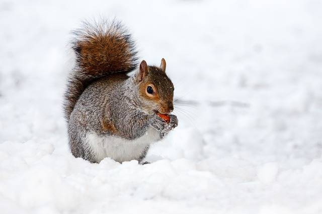 Squirrel Rodent Animal - Free photo on Pixabay (384969)