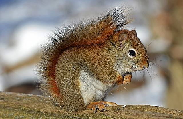 Red Squirrel Rodent Nature - Free photo on Pixabay (384990)