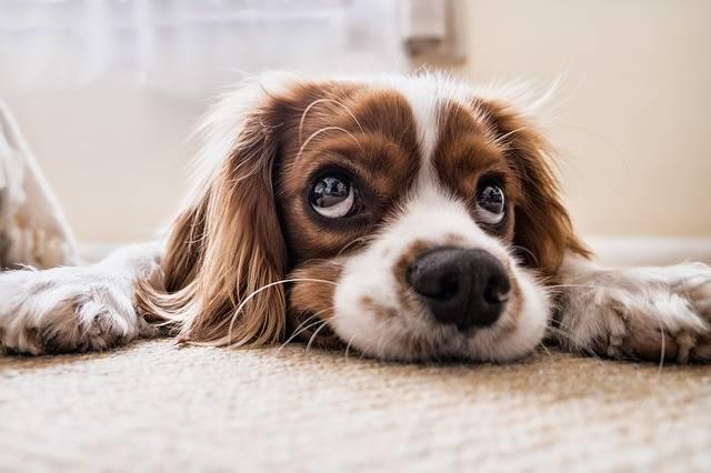 Dog Sad Waiting - Free photo on Pixabay (396929)